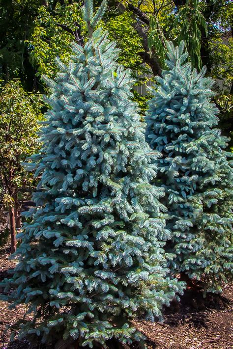 Baby Blue Eyes Spruce Trees For Sale Online | The Tree Center™
