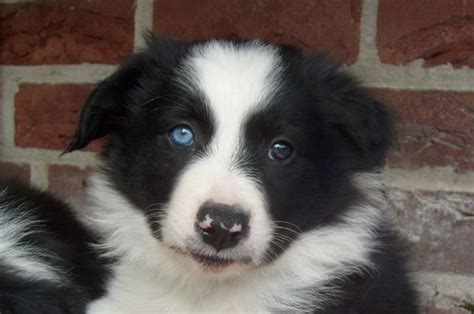 30 Cute Black and White Border Collie Pics That Will Cheer