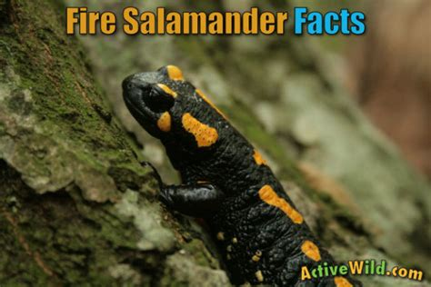 Fire Salamander Facts For Kids & Adults: Pictures