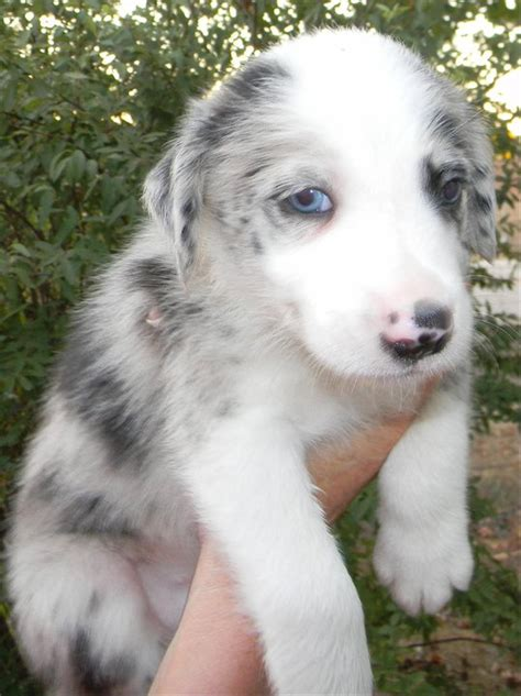 Lilac Merle or other? - General Border Collie Discussion